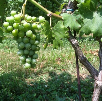Under a blazing hot summer sun, grapes are ripening in Boordy's vineyards.