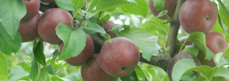 There are 3,000 apple trees growing on the farm at Distillery Lane Ciderworks.