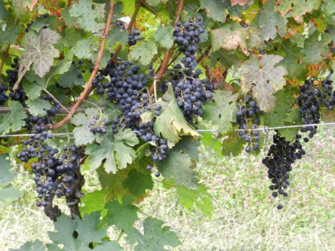 Pinot Noir grapes just about ready for harvest. Netting keeps the birds away. We hope.