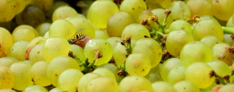 Humans have some competition for Elk Run's grapes.