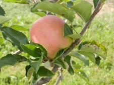 Apples are ripening in the foothills of the mountains in Frederick County.