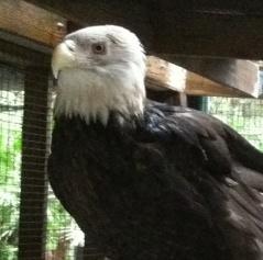 One of several bald eagles at Calusa.