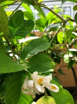 When you see citrus trees blooming, stop and breath in the sweet fragrance.