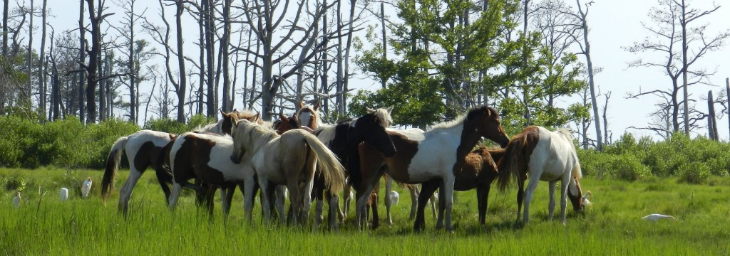 Ponies browsing along the Chincoteague Channel shore line