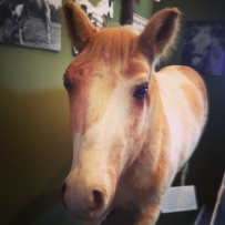 My daughter saw Misty at the Museum of Chincoteague. The pony lives on, thanks to  the art of taxidermy (Photo by Gina Truitt.)