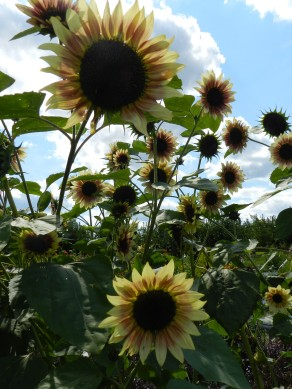 So many sunflower varieties.
