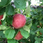 Reid's apples make some of their hard ciders and apple wine —but they sell plenty at local farmers markets, too.