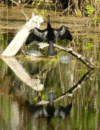 Anhinga dries its wings in the company of two turtles in a pond at Six Mile Cypress Slough in Fort Myers, Florida.
