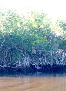 Sharp eyes are needed to see some of the wildlife — like this young blue heron — that live among the mangroves.