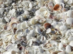 Who wouldn't want to stoop over to admire and collect shells from Sanibel and Captiva's beaches?