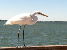 Not all the fishers at the fisherman's pier on Sanibel are human.