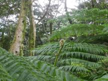 Ferns cover vast swaths of the forest.