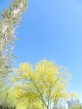 A boojum tree rises high in the blue sky beside a yellow blooming palo verde tree.