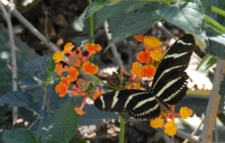 Zebra Longings fly among the flowers