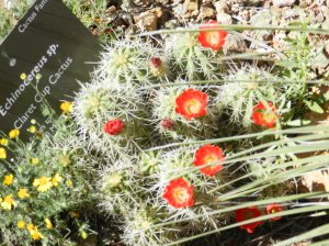 Claret cup cactus have showy red blooms.