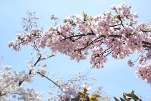 An abundance of blossoms cover the branches.