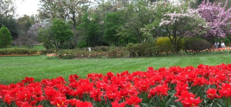 Tulips have bloomed at Sherwood Gardens in Baltimore. A sight to see