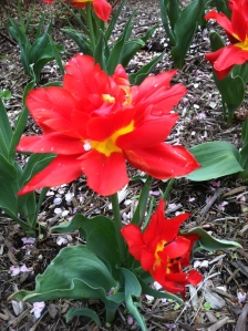 A showstopper of a tulip at Sherwood Gardens.
