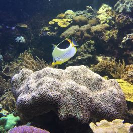 Graceful and colorful fish glide past in the coral reef tank.