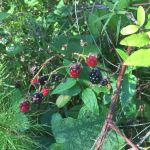 Clusters of tempting berries ripen along the trail.