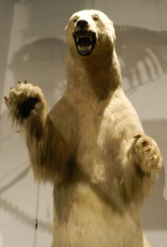 Charleston's own polar bear.
