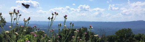 A butterfly flits above thistle at an overlook on the Skyline Drive, which runs above the Shenandoah Valley in Virginia.