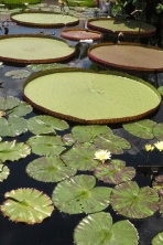 Some of the lily pads are HUGE