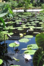 There are may different kinds of water lilies
