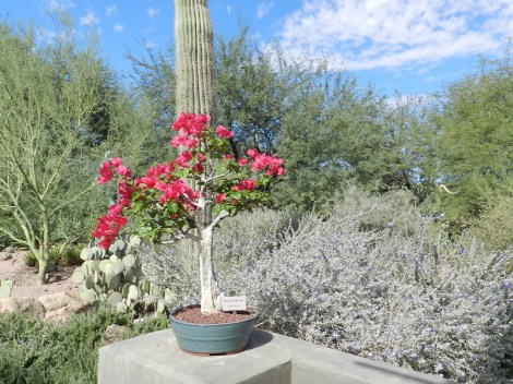 A bonsai bougainvillea contrasts with the greens and browns of the desert around it.