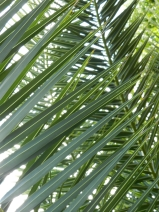 Not all that grows in the desert is a cactus. This is a date palm.