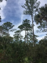 The first forest you see at Corkscrew isn't the cypress trees but the pine flat woods.
