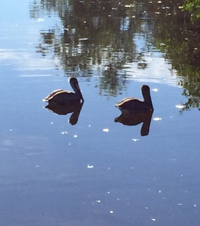 Pelicans take a break on the canal behind Matlacha.