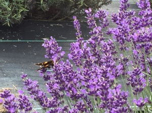 The lavender has lots of fans, even the butterflies.